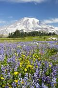 Snow Capped Mountains Prints - Mount Rainier National Park Print by Craig Tuttle