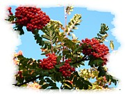 Ripe Photos - Mountain Ash In October by Will Borden