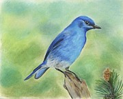 Bluebird Pastels Framed Prints - Mountain Bluebird Framed Print by Christian Conner