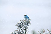Bird On Tree Prints - Mountain Bluebird In Snow Print by Pat Gaines
