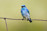 Bison Range Prints - Mountain Bluebird on a wire Print by Merle Ann Loman
