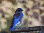 Bluebird Metal Prints - Mountain Bluebird Painterly Metal Print by Ernie Echols