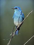 Bluebird Metal Prints - Mountain Bluebird Perching On Twig Metal Print by Tim Fitzharris
