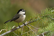 Woodlands Posters - Mountain Chickadee Poster by Reflective Moments  Photography and Digital Art Images