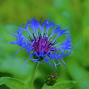Centaurea Montana Photo Posters - Mountain Cornflower Poster by Byron Varvarigos