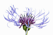 Centaurea Montana Photo Posters - Mountain Cornflower (centaurea Montana) Against White Background Poster by Frank Krahmer