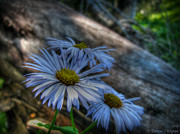 Santa Fe National Forest Photos - Mountain Daisies and a Downed Spruce by Aaron Burrows