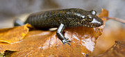 Dusky Prints - Mountain Dusky salamander Print by Dustin K Ryan