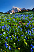 Mt. Rainier Photos - Mountain Garden by Mike  Dawson