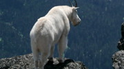 Goats Framed Prints - Mountain goat 2 Framed Print by Sean Griffin