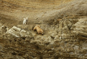 Dogs Art - Mountain Goat Dogs by Marc Bittan