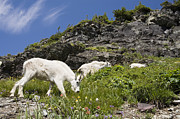 Mar1013 Framed Prints - Mountain Goat Ewes And Kid Grazing Framed Print by Sebastian Kennerknecht