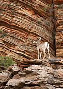 Cliffs Prints - Mountain goat Print by Jane Rix