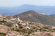 Rocky Mountains Metal Prints - Mountain Goat Mother And Kid In Mountain Home Metal Print by Max Allen