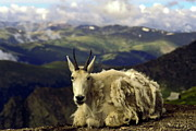 Mountain Goat Resting Print by Sally Weigand