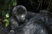 Critically Endangered Animals Posters - Mountain Gorilla 1.5yr Old Baby Poster by Suzi Eszterhas