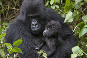 Ape Metal Prints - Mountain Gorilla And Baby Rwanda Metal Print by Suzi Eszterhas