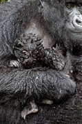 Caring Mother Posters - Mountain Gorilla And Baby Poster by Tony Camacho
