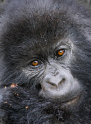 Rwanda Prints - Mountain Gorilla (gorilla Beringei Beringei) Print by Mark Smith
