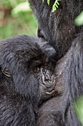 African Mountain Framed Prints - Mountain Gorilla Infant Feeding Framed Print by Tony Camacho