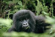 Rwanda Prints - Mountain Gorilla Infant Print by Tony Camacho