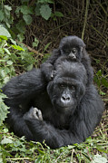 Critically Endangered Animals Framed Prints - Mountain Gorilla Mother And 1.5yr Old Framed Print by Suzi Eszterhas