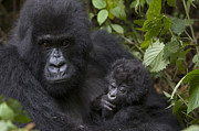 Critically Endangered Animals Framed Prints - Mountain Gorilla Mother Holding 3 Month Framed Print by Suzi Eszterhas