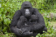 Embracing Posters - Mountain Gorilla Mother Holding 5 Month Poster by Suzi Eszterhas