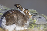 Hare Photo Posters - Mountain Hare Poster by Duncan Shaw