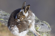 Hare Posters - Mountain Hare Moulting Poster by Duncan Shaw