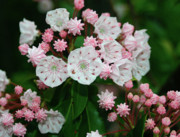 Laurel Ridge Posters - Mountain Laurel Poster by Annlynn Ward