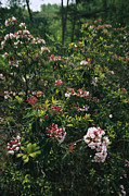Laurel Ridge Posters - Mountain Laurel Blossoms In A Southern Poster by Raymond Gehman