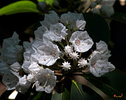 Spring Flowers - Mountain Laurel DSMF038 by Gerry Gantt
