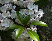 Spring Flowers - Mountain Laurel DSMF046 by Gerry Gantt