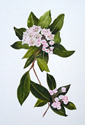 Jean Blackmer Posters - Mountain Laurel Poster by Jean Blackmer