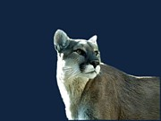 Catamount Posters - Mountain Lion Beauty Poster by Donna Parlow
