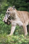 Nape Framed Prints - Mountain Lion Carrying Cub By The Nape Framed Print by David Ponton