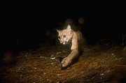 Aptos Posters - Mountain Lion Female At Night Aptos Poster by Sebastian Kennerknecht