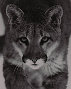 Juls Adams Framed Prints - Mountain Lion Framed Print by Juls Adams