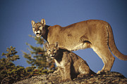 Three-quarter Length Prints - Mountain Lion Mother With Kitten North Print by Tim Fitzharris