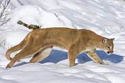 Photography Of Cats Prints - Mountain Lion Puma Concolor Hunting Print by Matthias Breiter