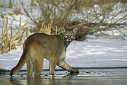 Looking Back Prints - Mountain Lion Puma Concolor In Frozen Print by Konrad Wothe