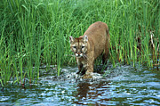 Mountain Lion Puma Concolor Wading Print by Konrad Wothe