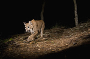 Mar1013 Framed Prints - Mountain Lion Wild Juvenile At Night Framed Print by Sebastian Kennerknecht