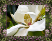 Magnolia Macro Framed Prints - Mountain Magnolia Framed Print by Bell And Todd