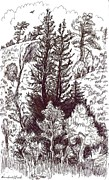 Wyoming Drawings - Mountain Pines and Aspen field sketch by Dawn Senior-Trask
