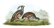 Quail Paintings - Mountain Quail by John James Audubon