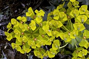 Spurge Posters - Mountain Spurge (euphorbia Rigida) Poster by Bob Gibbons