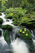 Woodland Scenes Framed Prints - Mountain Stream Cascading Framed Print by Norbert Rosing