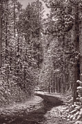 Pine Forest Prints - Mountain Trail Yellowstone BW Print by Steve Gadomski